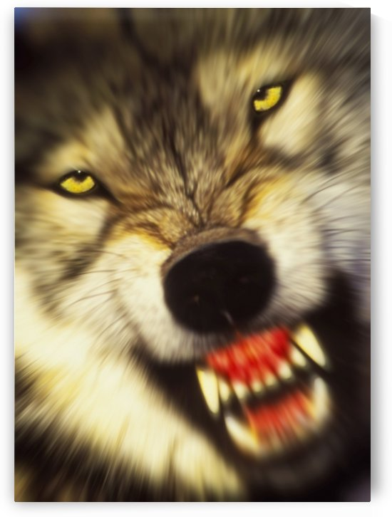 Growling wolf (canis lupus) in the rocky mountains;United states of america by PacificStock