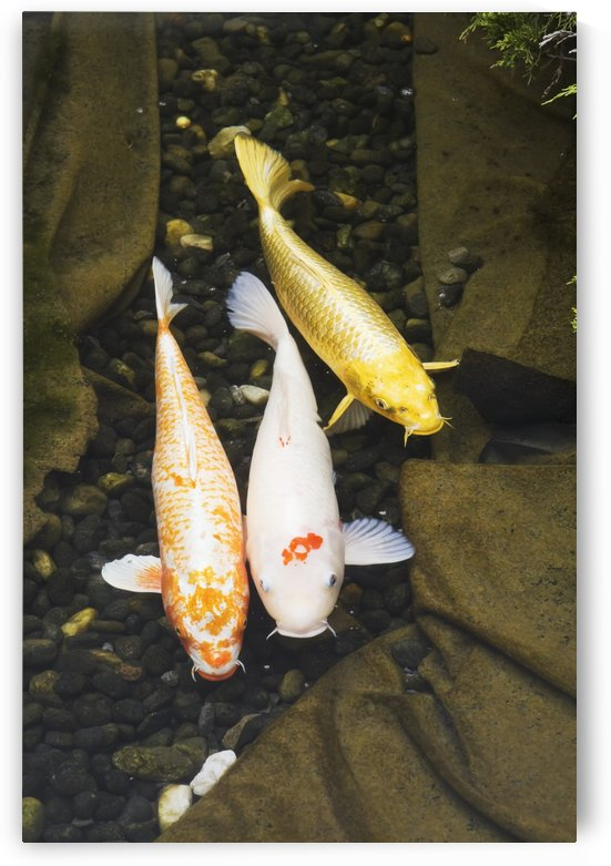 Three japanese koi fish in a pond;Montreal quebec canada by PacificStock