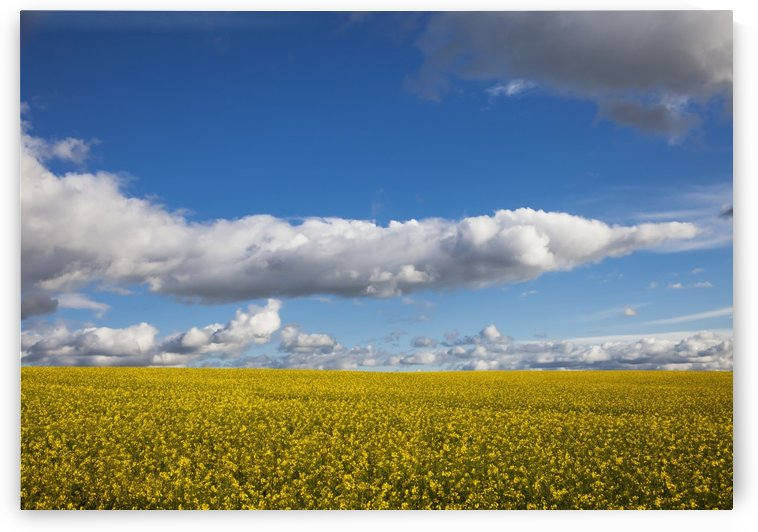 A field with yellow blossoms;Northumberland england by PacificStock