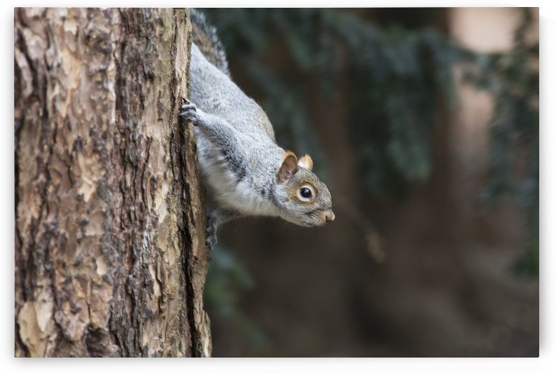 A grey squirrel making it's way down a tree trunk;Middlesborough teeside england by PacificStock