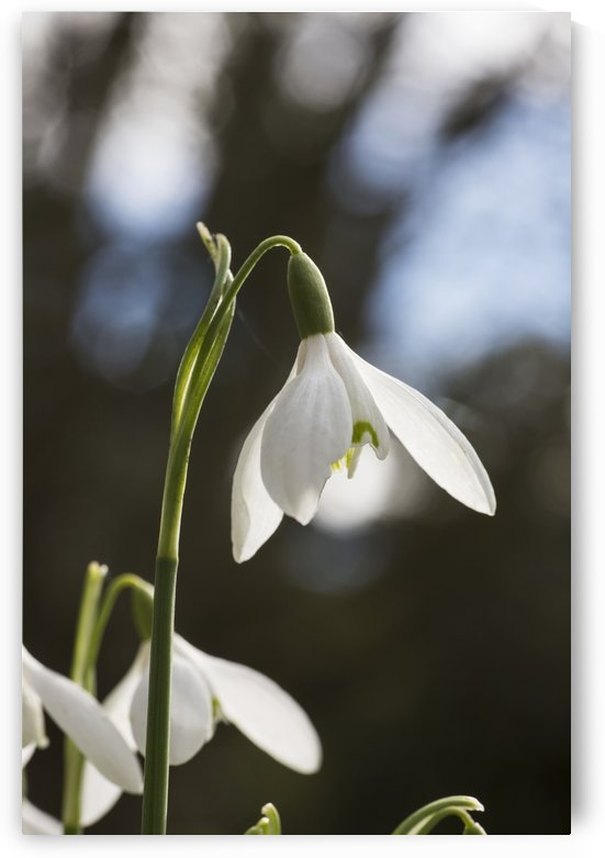 Snowdrop (Galanthus);Northumberland England by PacificStock
