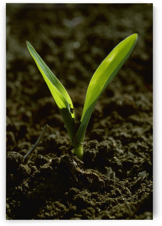 Agriculture - Closeup of a grain corn seedling in a conventionally tilled field / Arkansas, USA. by PacificStock