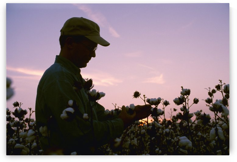 Agriculture - A farmer / grower inspects his mature cotton crop prior to harvest at sunset / Arkansas, USA. by PacificStock