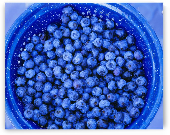 Agriculture - Closeup of freshly harvested blueberries in a blue colander / Skagit Valley, Washington, USA. by PacificStock