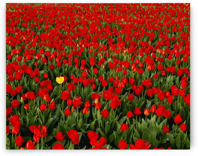 Agriculture - Commercial flower field; one yellow tulip in a field of red tulips / Willamette Valley, Oregon, USA. by PacificStock