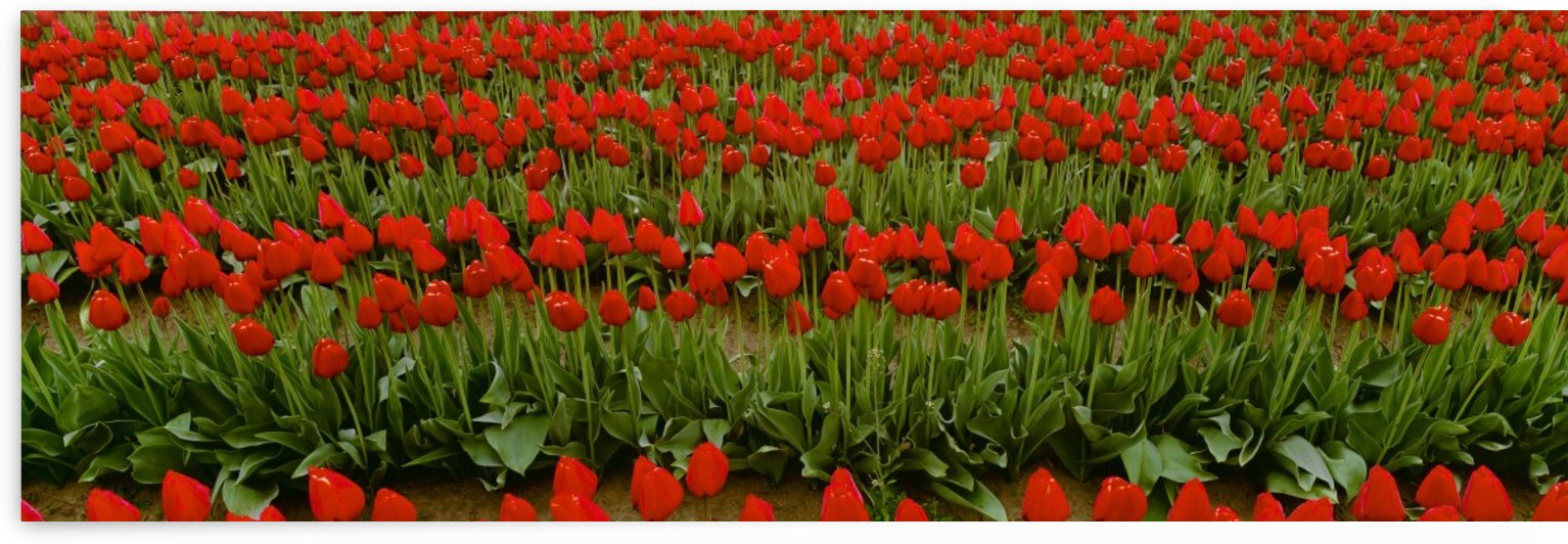 Agriculture - Rows of red tulips in a commercial flower field / Skagit Valley, Washington, USA. by PacificStock