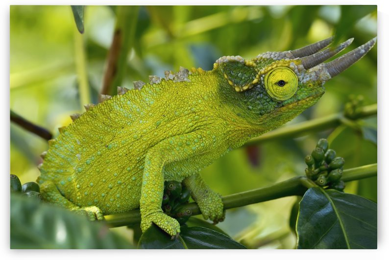 Jackson chameleon (trioceros jacksonii) hides in the coffee trees;Holualoa hawaii united states of america by PacificStock