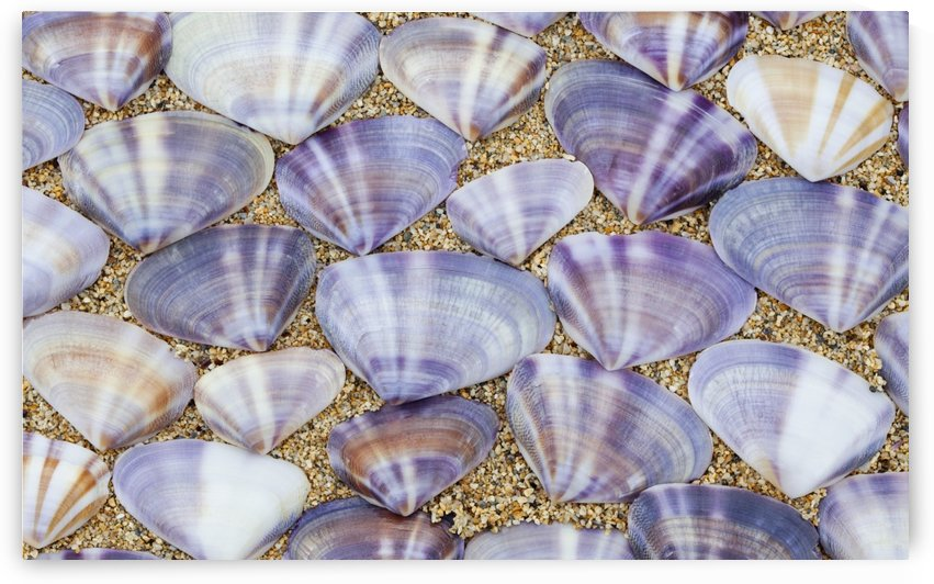 Seashells laying in rows in the sand;Oahu hawaii united states of america by PacificStock
