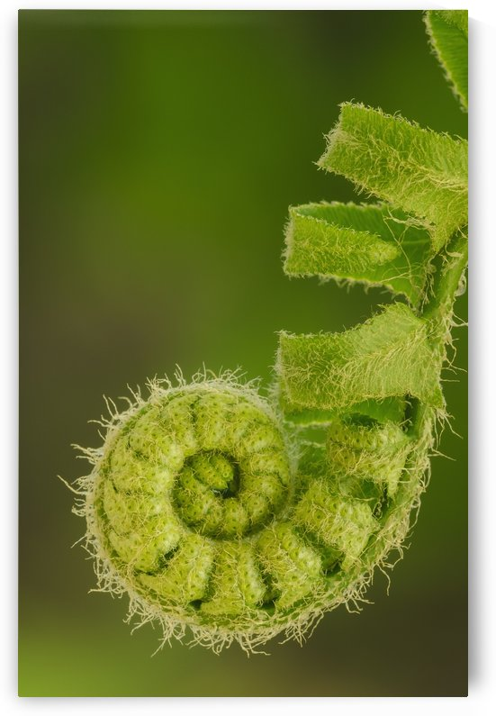 Close up of a fern opening a new leaf in springtime;Ohio united states of america by PacificStock