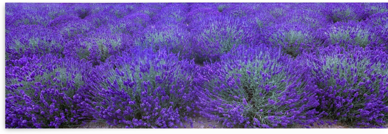 Agriculture - Mature Lavender in the field in mid summer / near Sequim, Clallam County, Washington, USA. by PacificStock