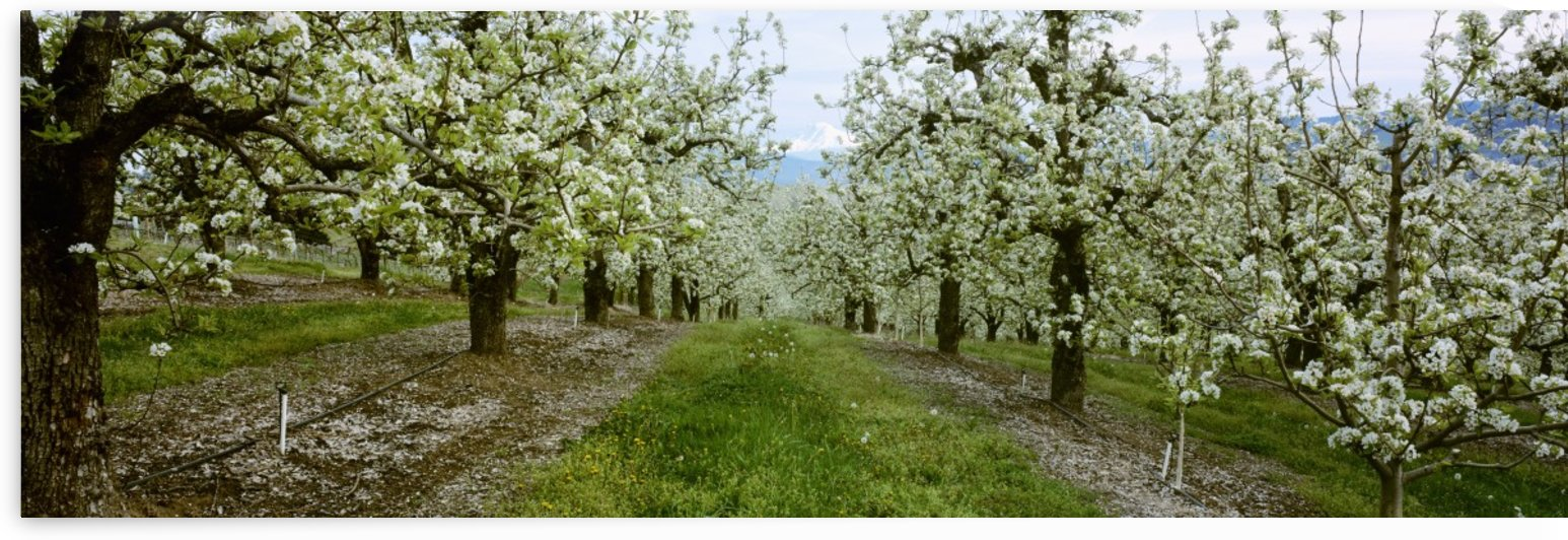 Agriculture - Pear orchard in full Spring bloom with Mt. Adams in the distance / Hood River Valley, Oregon, USA. by PacificStock