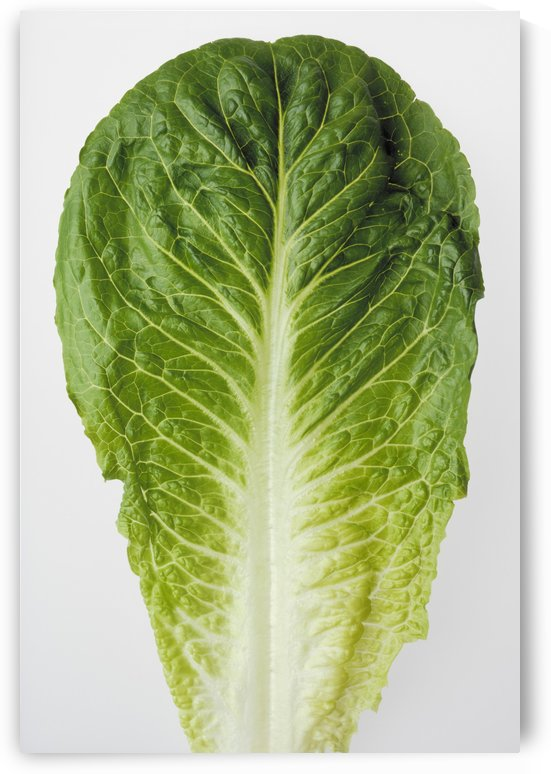 Agriculture - Closeup of a Romaine lettuce leaf on a white surface, studio. by PacificStock
