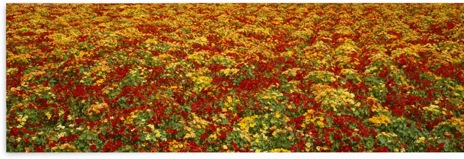 Agriculture - A field of commercially grown Nasturtiums / Lompoc, California, USA. by PacificStock