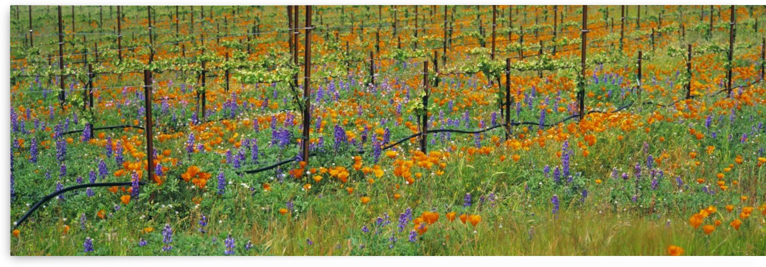 Agriculture - Wine grape vineyard in Spring showing early foliage with poppies and lupines growing in the row middles / Santa Barbara County, California, USA. by PacificStock