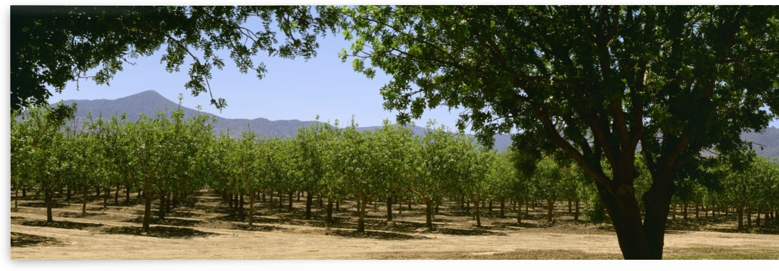 Agriculture - Pistachio orchard early in the growing season / Bowie, Arizona, USA. by PacificStock