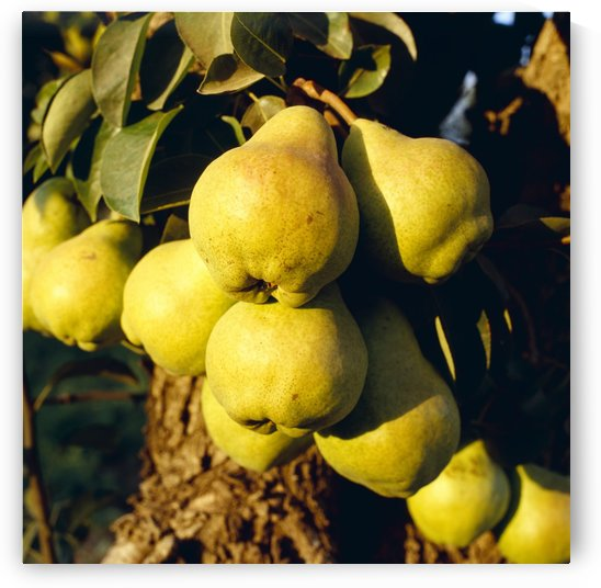 Agriculture - Mature Bartlett pears on the tree in late afternoon light / Brentwood, California, USA. by PacificStock