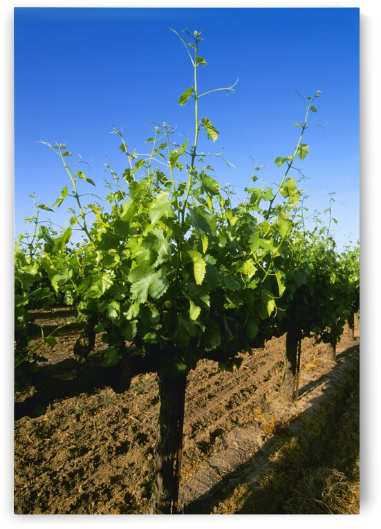 Agriculture - Late spring foliage growth on wine grape vines / Oakdale, California, USA. by PacificStock