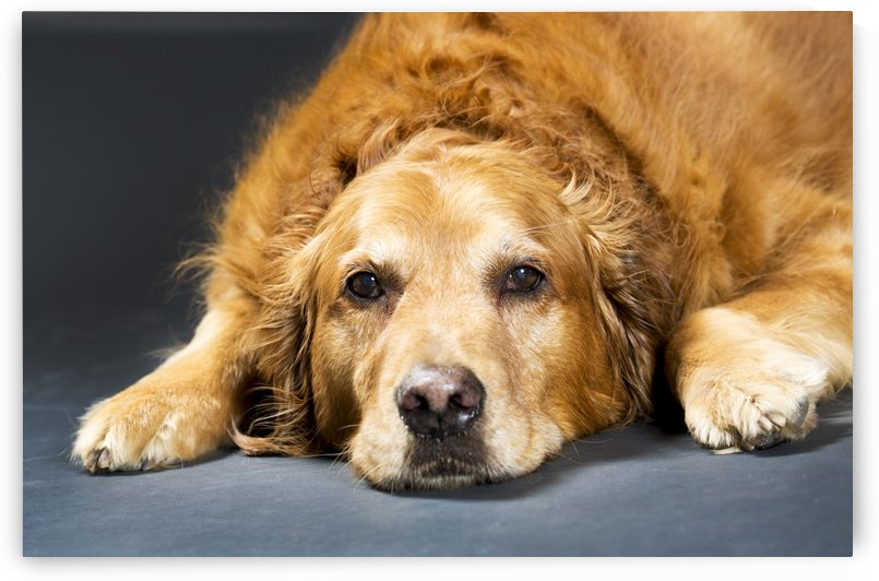 Close Up Portrait Of A Golden Retriever Dog Laying Down; Calgary, Alberta, Canada by PacificStock