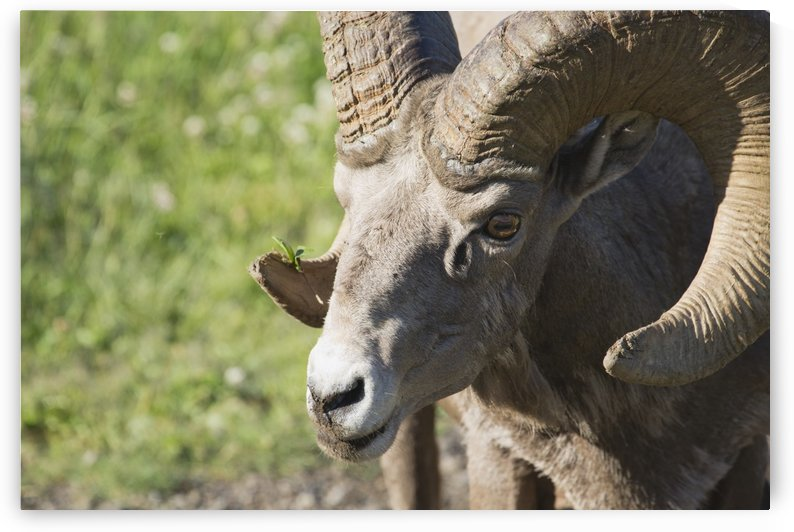 Close Up Of A Bighorn Sheep (Ovis Canadensis); Kananaskis, Alberta, Canada by PacificStock