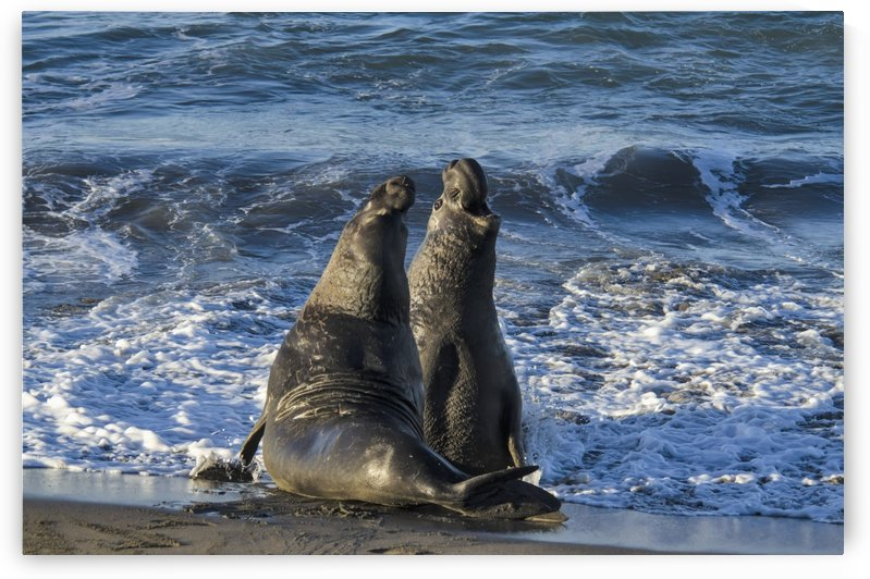 Northern Elephant Seal (Mirounga Angustirostris) On The Central California Coast; California, United States Of America by PacificStock
