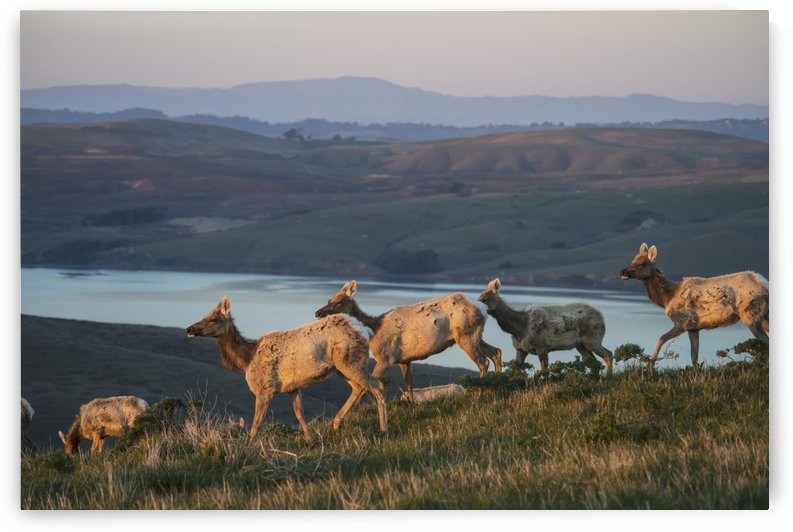 Tule Elk (Cervus Canadensis Ssp. Nannodes) In Point Reyes National Seashore; California, United States Of America by PacificStock