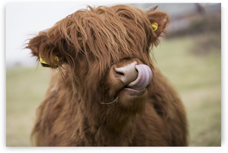 Highland Cattle Licking It's Lips; Scottish Borders, Scotland by PacificStock
