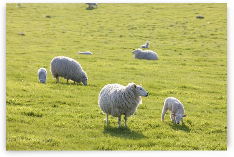 Sheep in a field in the typical English countryside of rolling hills around village of Kingston Deverill; West Wiltshire, England by PacificStock
