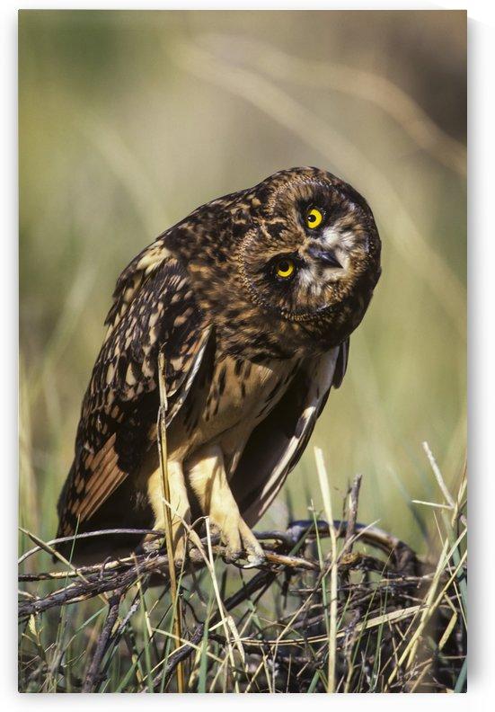 A Juvenile Short-Eared Owl (Asio Flammeus) Surveys The Scene; Idaho Falls, Idaho, United States Of America by PacificStock