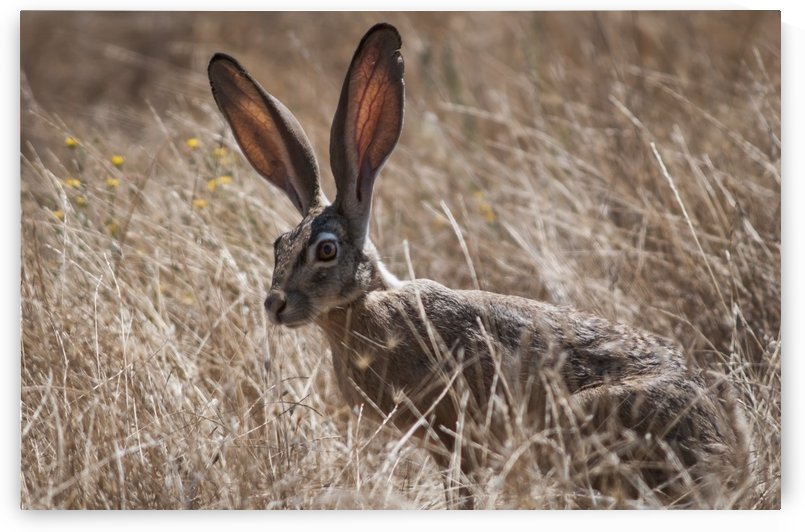 A Black-Tailed Jackrabbit (Lepus Californicus) Lurks In The Grass; Willows, California, United States Of America by PacificStock