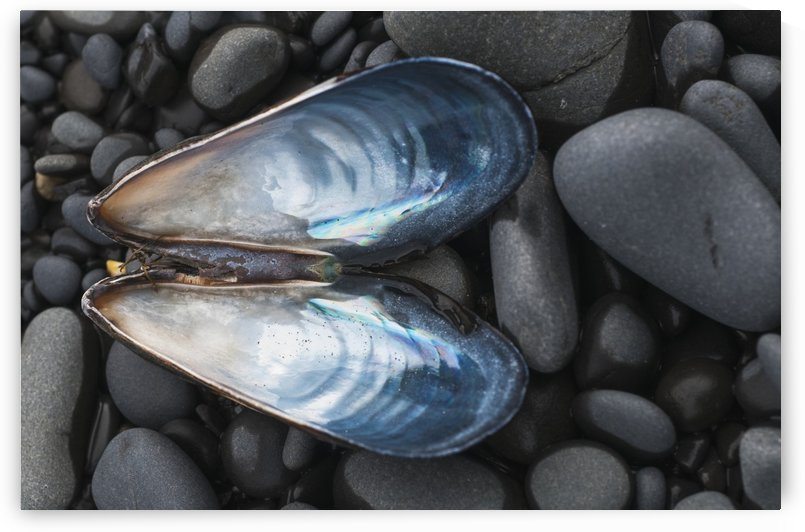 A Blue Mussel (Mytilus Edulis) Shell Rests On The Beach; Cannon Beach, Oregon, United States Of America by PacificStock