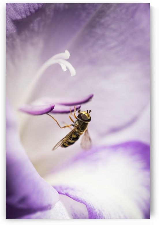 A Hoverfly Visits A Gladiolus Blossom; Astoria, Oregon, United States Of America by PacificStock