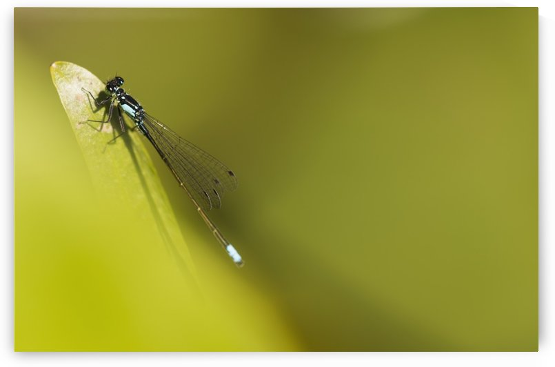 A Damselfly (Zygoptera) Rests On A Stem; Astoria, United States Of America by PacificStock