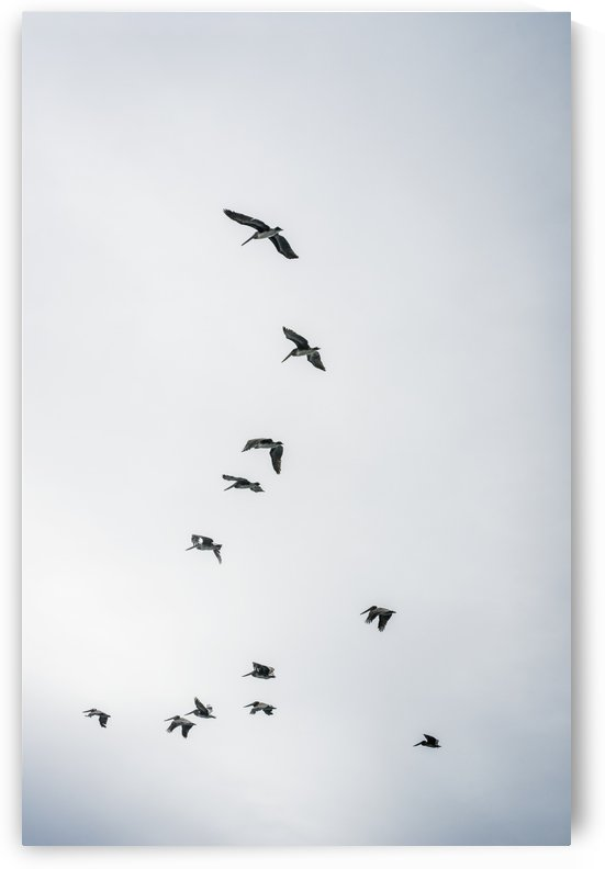 Brown Pelicans (Pelecanus Occidentalis) In A Cloudy Sky; Ilwaco, Washington, United States Of America by PacificStock
