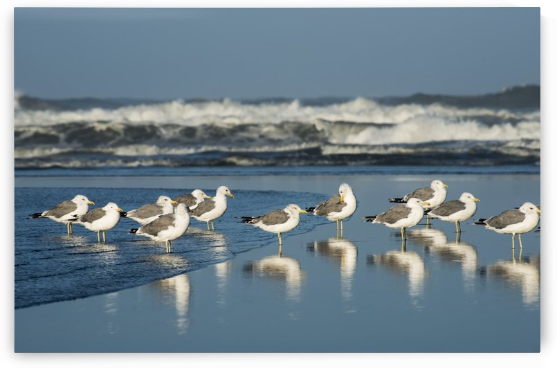 California Gulls (Larus Californicus) Rest On A Beach; Ilwaco, Washington, United States Of America by PacificStock