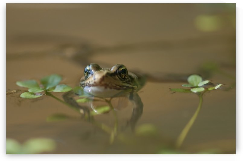 A Red-Legged Frog Floats In A Pond; Astoria, Oregon, United States Of America by PacificStock