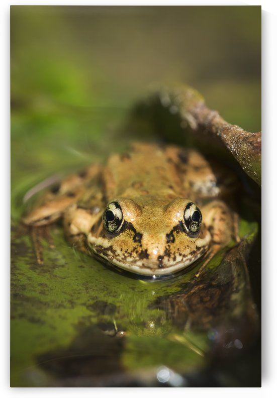 A Red-Legged Frog Rests On A Lily Pad; Astoria, Oregon, United States Of America by PacificStock