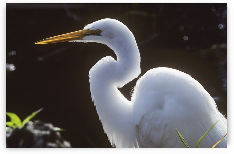 A Great Egret (Ardea Alba) Stalks Prey; Homestead, Florida, United States Of America by PacificStock