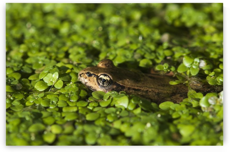 A Red-Legged Frog Rests In Small Plants; Astoria, Oregon, United States Of America by PacificStock