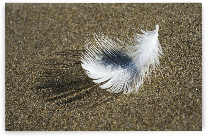 A Molted Gull Feather Lies On The Beach; Cannon Beach, Oregon, United States Of America by PacificStock