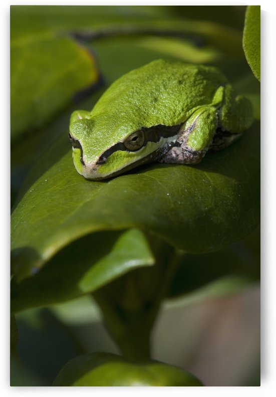 A Pacific Tree Frog (Pseudacris Regilla) Sleeps On A Rhododendron Leaf; Astoria, Oregon, United States Of America by PacificStock