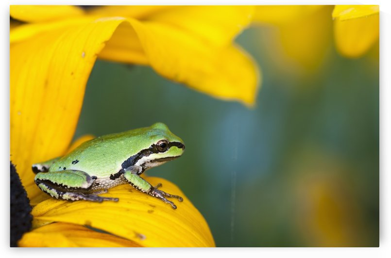 A Pacific Tree Frog (Pseudacris Regilla) Hunts For Insects On A Rudbeckia Blossom; Astoria, Oregon, United States Of America by PacificStock