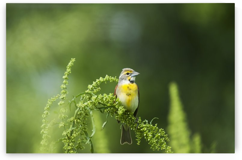 A Male Dickcissel (Spiza Americana) Perches On A Dock Plant; Vian, Oklahoma, United States Of America by PacificStock