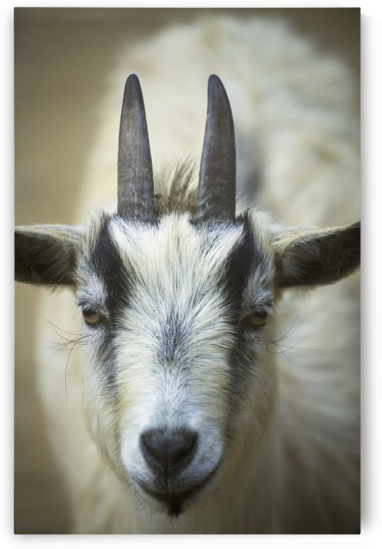 A Friendly Goat Greets Children At Bandon's Petting Zoo; Bandon, Oregon, United States Of America by PacificStock