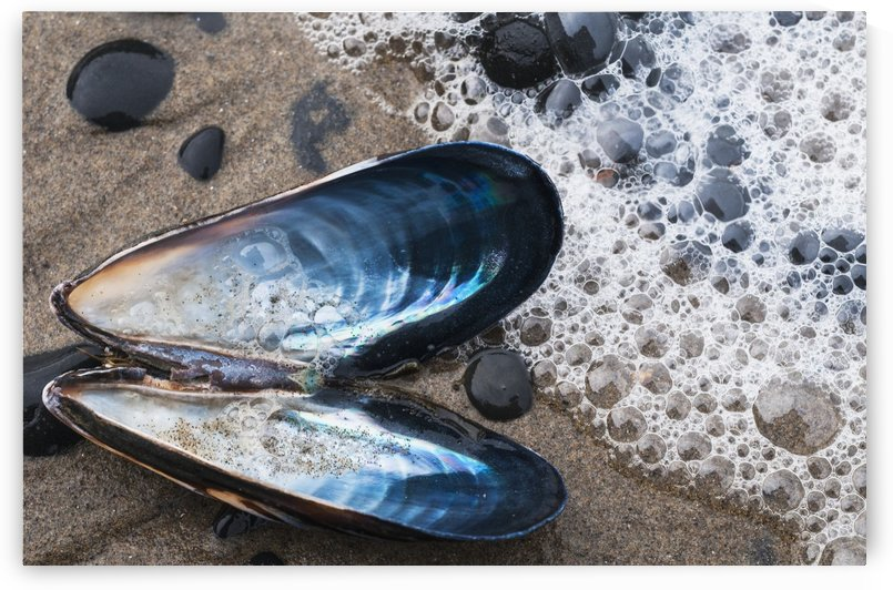 Waves Wash Over A Blue Mussel (Mytilus Edulis) Shell On The Beach; Cannon Beach, Oregon, United States Of America by PacificStock