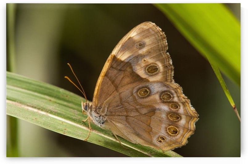 A Pearly Eye Butterfly (Enodia) Rests On A Blade Of Grass; Vian, Oklahoma, United States Of America by PacificStock
