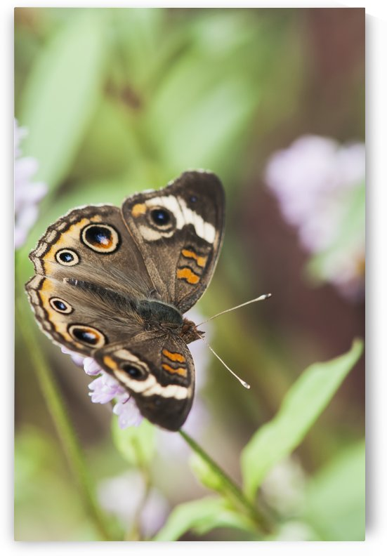 A Buckeye Butterfly (Junonia Coenia) Rests On A Flower; Vian, Oklahoma, United States Of America by PacificStock
