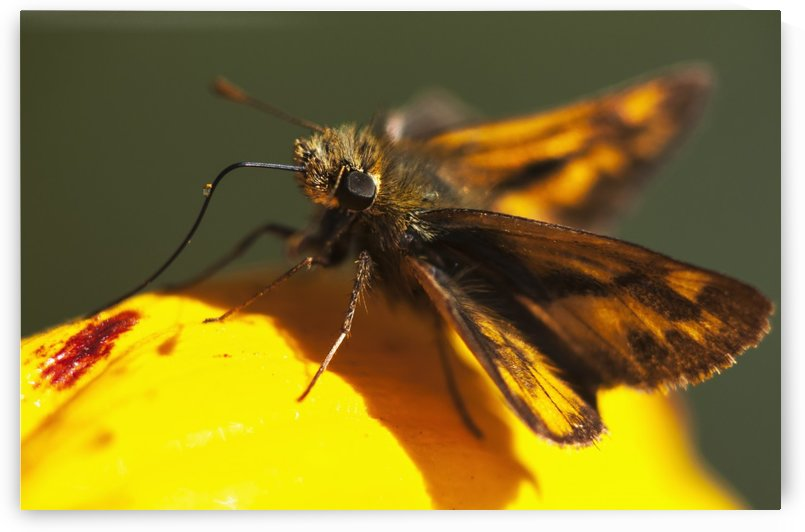 A Skipper Butterfly (Hesperiidae) Visits A Flower; Astoria, Oregon, United States Of America by PacificStock
