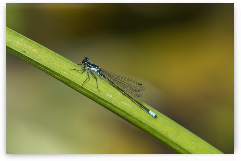 A Damselfly Rests On A Stem; Astoria, Oregon, United States Of America by PacificStock