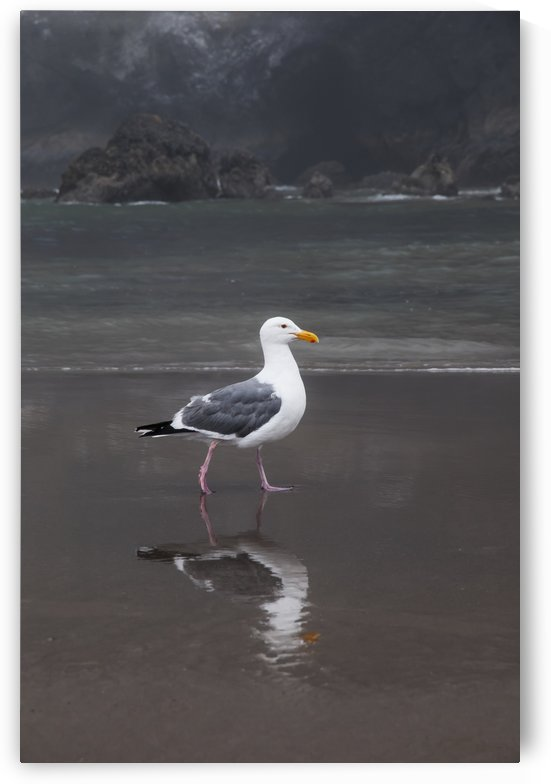 A Western Gull (Larus Occidentalis) Walks On The Beach; Cannon Beach, Oregon, United States Of America by PacificStock