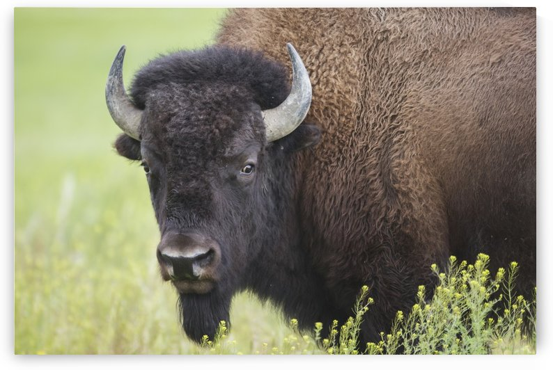 Bison, Grasslands National Park; Saskatchewan, Canada by PacificStock